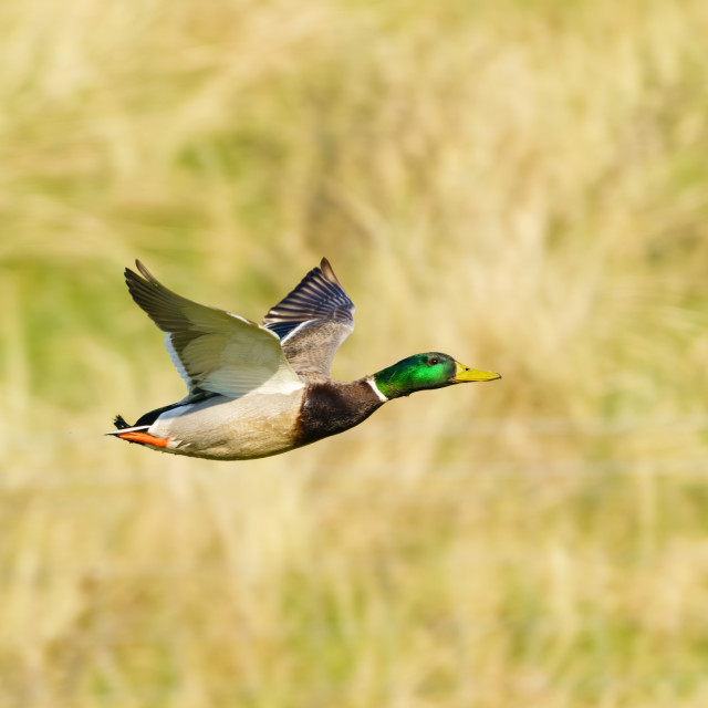 """Mallard Duck (Anas platyrhynchos) male in flight over field, taken in London,..."" stock image"