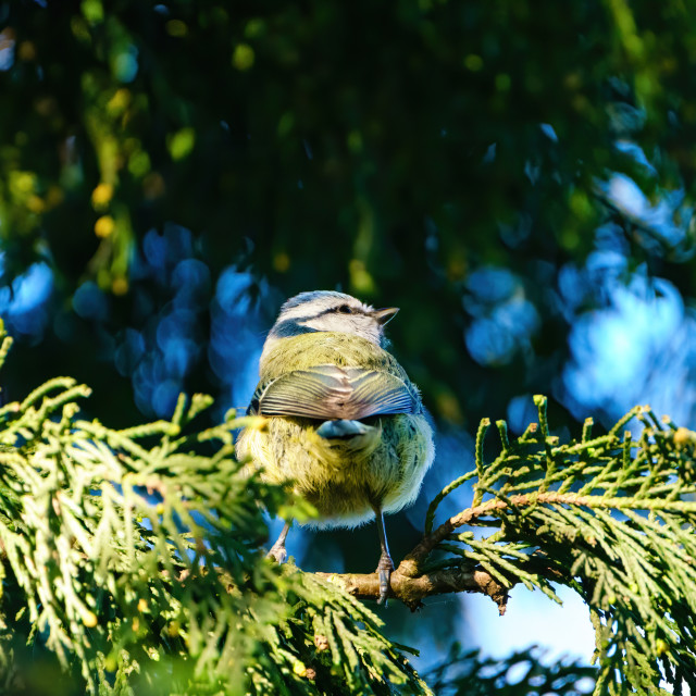 """""""Blue Tit (Cyanistes caeruleus) in a conifer looking up, taken in England"""" stock image"""
