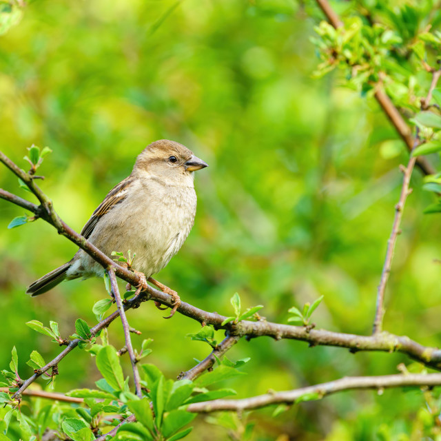 """""""House sparrow (Passer domesticus) female house sparrow perched on a twig in..."""" stock image"""