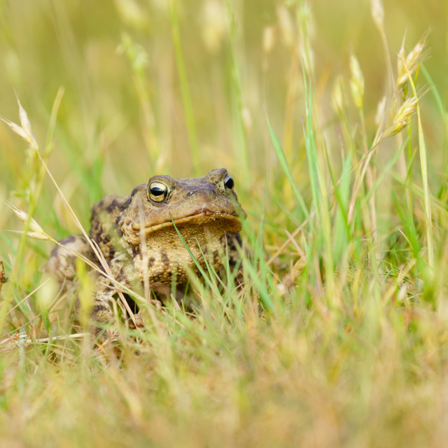 """""""Common Toad (Bufo bufo) sitting amongst some grass, taken in London, England"""" stock image"""