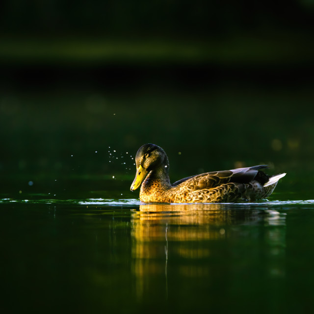 """Mallard Duck (Anas platyrhynchos) female shaking water from it's head on an..."" stock image"