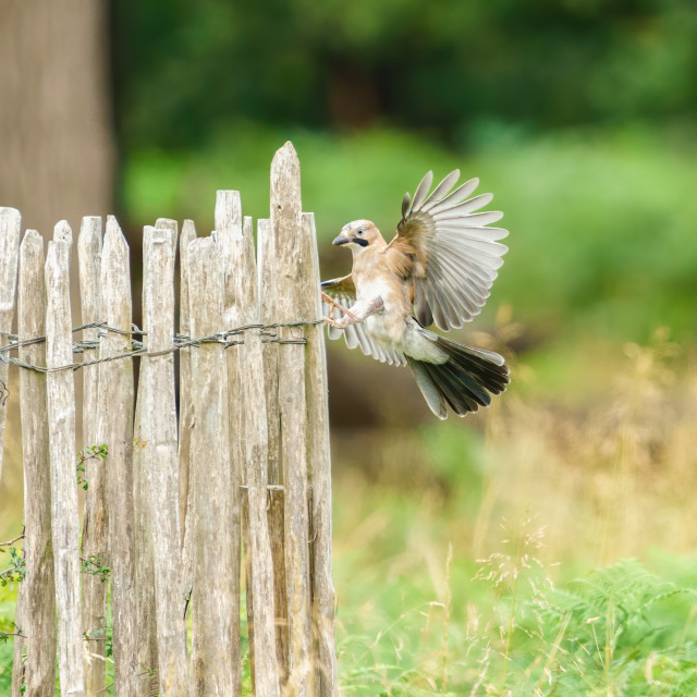 """""""Eurasian Jay (Garrulus glandarius) with wings spread about to land on a..."""" stock image"""