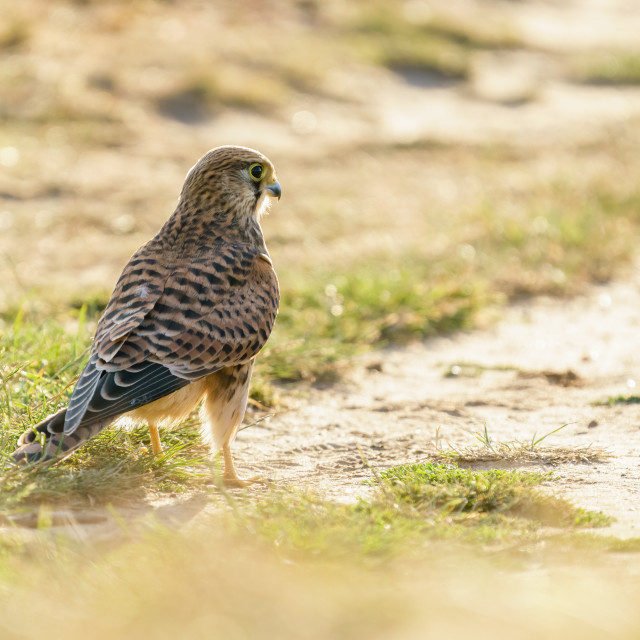 """Common Kestrel (Falco Tinnunculus) juvenile on a path searching for food,..."" stock image"