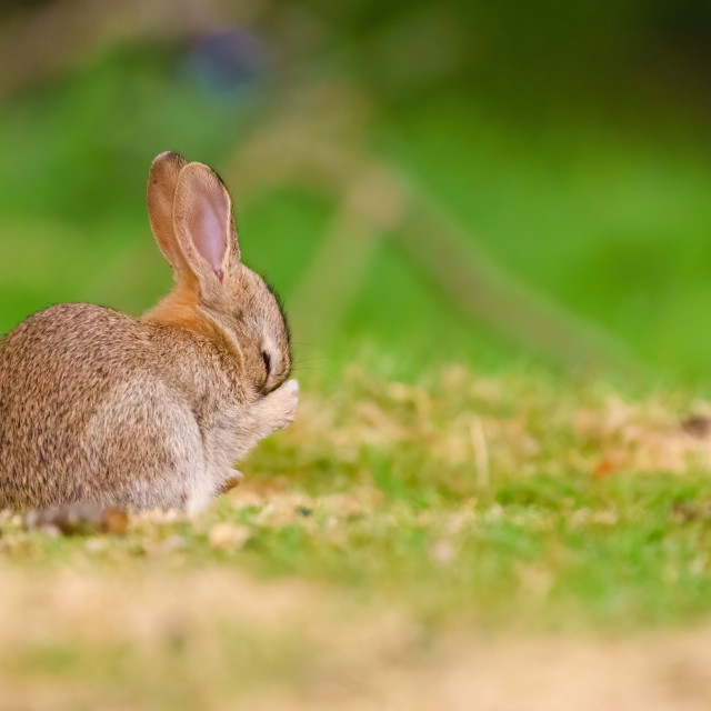 """Baby European Rabbit (Oryctolagus cuniculus) rubbing it's face, taken in..."" stock image"