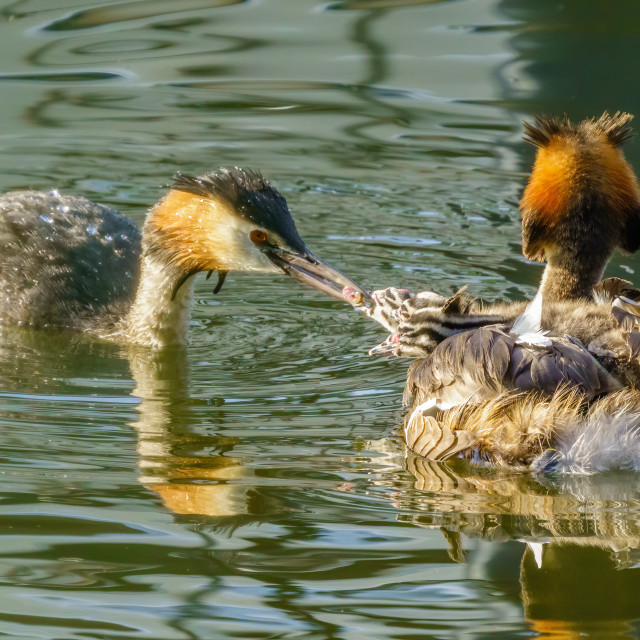 """Great Crested Grebe (Podiceps cristatus) parent feeding a fish to one of it's..."" stock image"