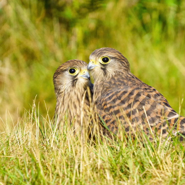 """Pair of Juvenile Common Kestrel (Falco Tinnunculus) standing next to each..."" stock image"