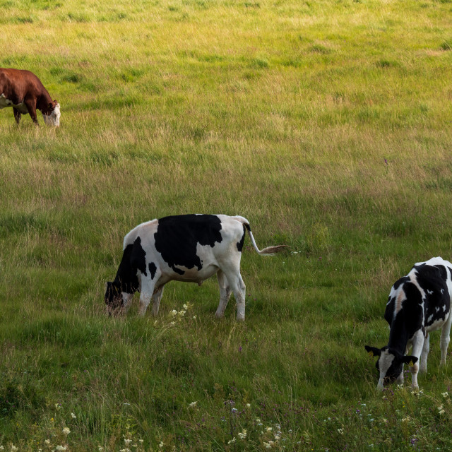 """""""Grazing cattle"""" stock image"""