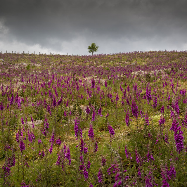 """A field of Foxgloves on the Brecon Beacons"" stock image"