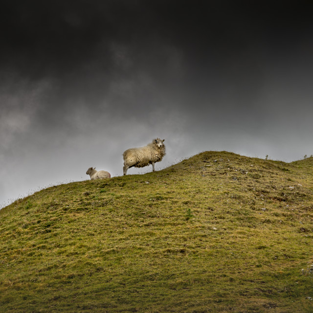 """Sheep on a hill top"" stock image"