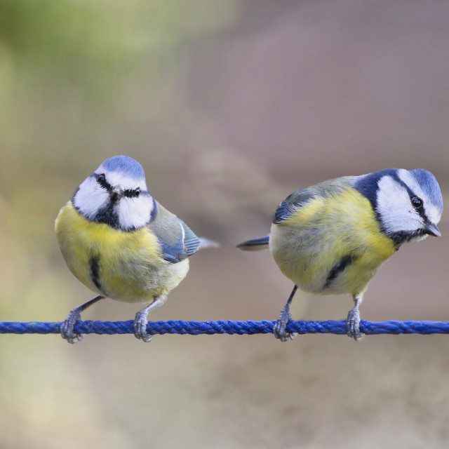 """""""Blue Tits together on a line"""" stock image"""