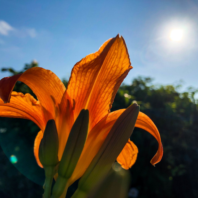 """""""Tiger Lily Flower in Sunlight"""" stock image"""