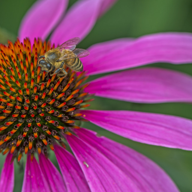 """""""A Honey Bee On A Bloom."""" stock image"""