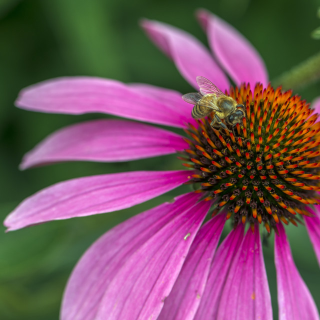 """""""A Honey Bee On A Pink Bloom"""" stock image"""