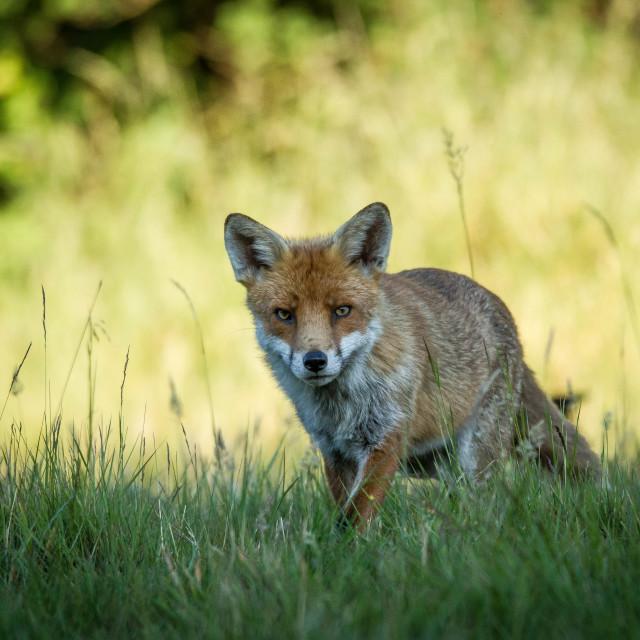 """Evening fox"" stock image"