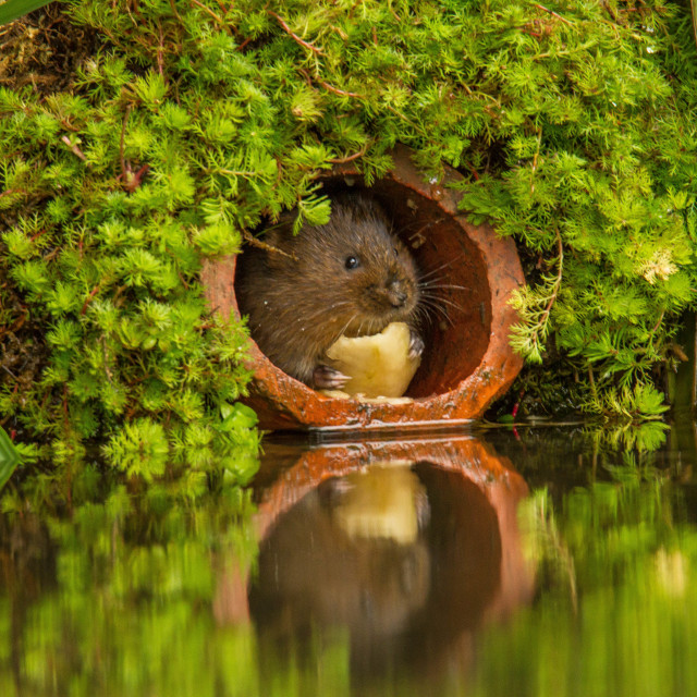 """Water Vole"" stock image"