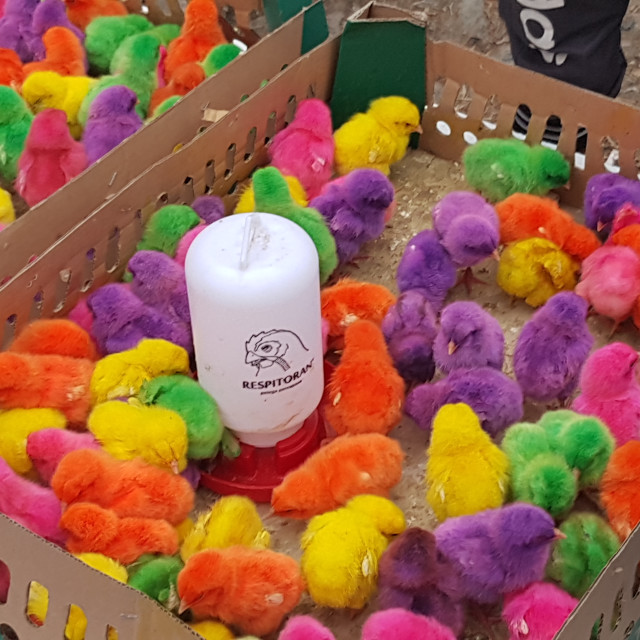 """Dyed Chicks for Sale, Papua, Indonesia"" stock image"