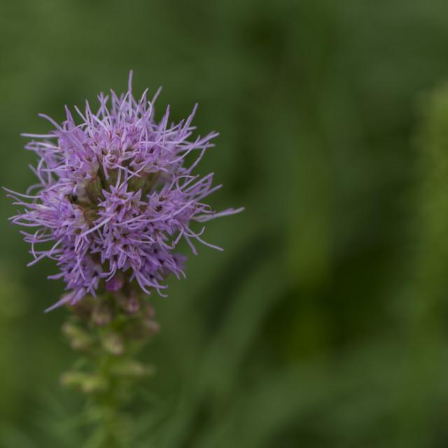 """""""A Pretty Purple Bloom."""" stock image"""