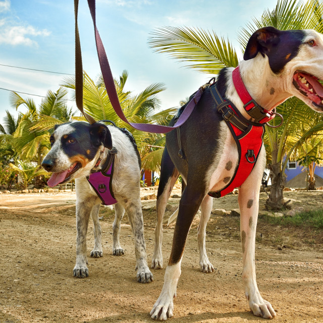 """""""Two dogs on a dirt road"""" stock image"""