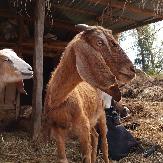 """""""Goats in Gorkha District, Nepal"""" stock image"""