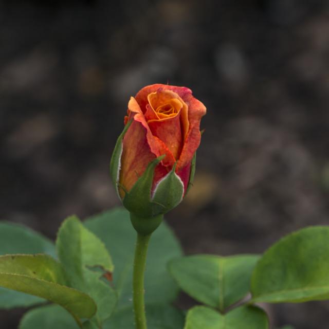 """Stunning Rose Bud"" stock image"