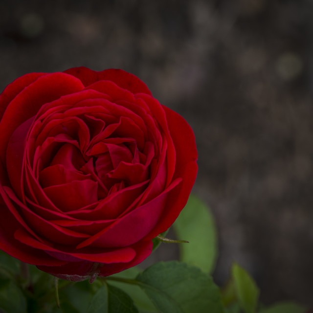 """""""The Red Rose"""" stock image"""