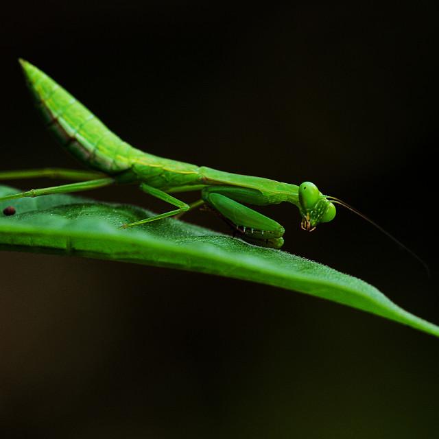 """Mr. Mantis"" stock image"