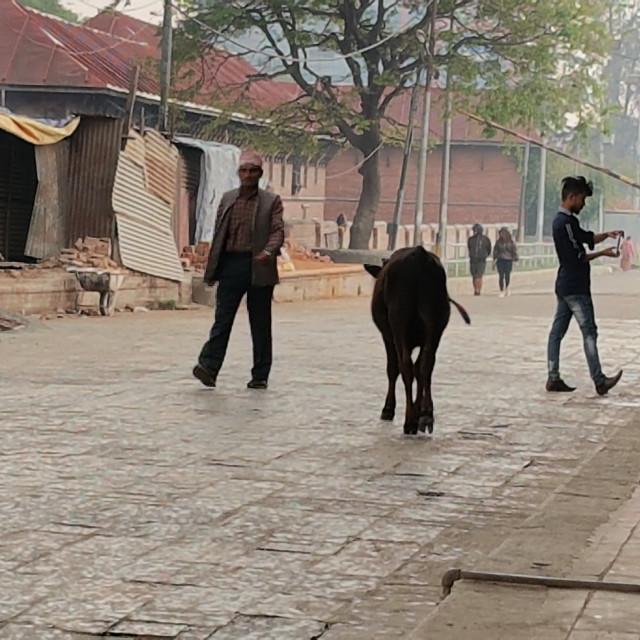 """Cow walking down street, Kathmandu, Nepal"" stock image"