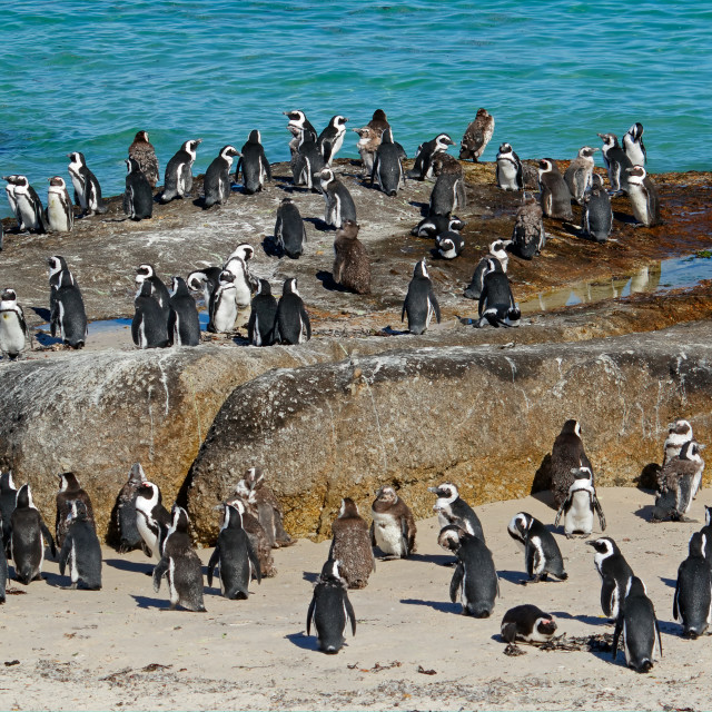 """African penguins on coastal rocks"" stock image"