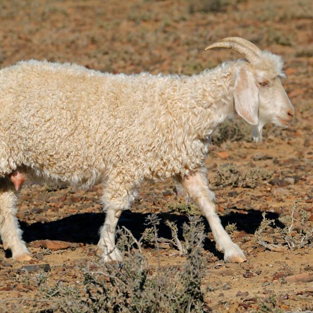 """""""Angora goat on a rural farm"""" stock image"""