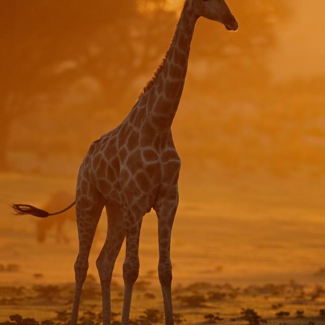"""Giraffe at sunrise - Kalahari desert"" stock image"