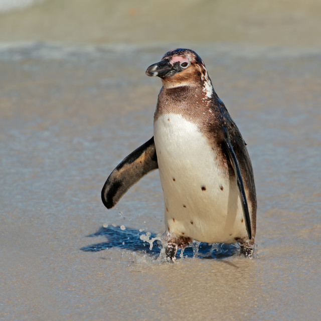 """Young African penguin on the beach"" stock image"