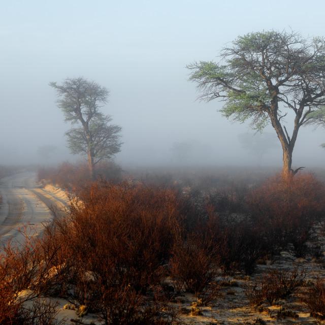 """Trees in mist - Kalahari desert"" stock image"