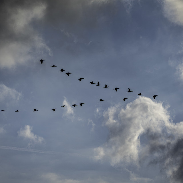 """V Formation Cormorants"" stock image"