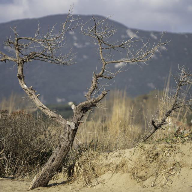 """Windblown Trees"" stock image"