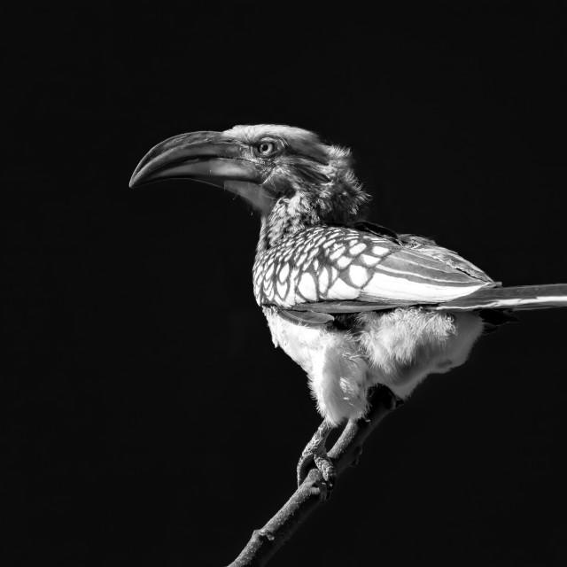 """Hornbill"" stock image"