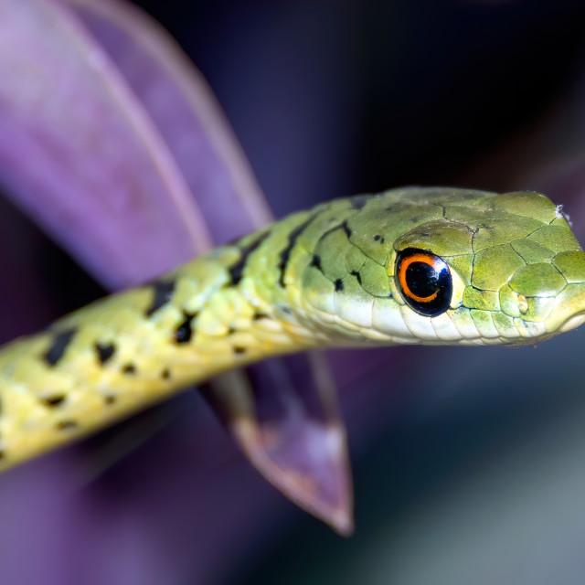 """Bush snake"" stock image"