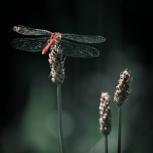 """""""Close-up image of a dragonfly on a plant."""" stock image"""