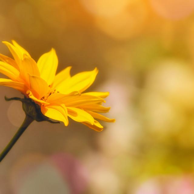 """""""Yellow Daisy"""" stock image"""