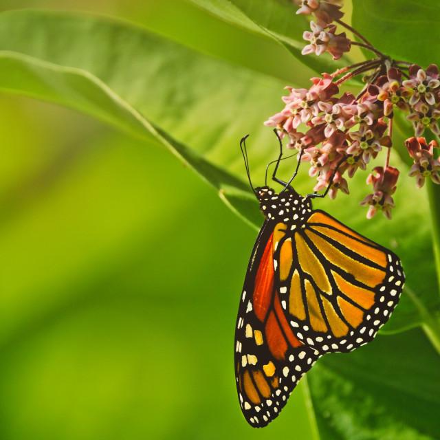 """""""Monarch and Milkweed"""" stock image"""