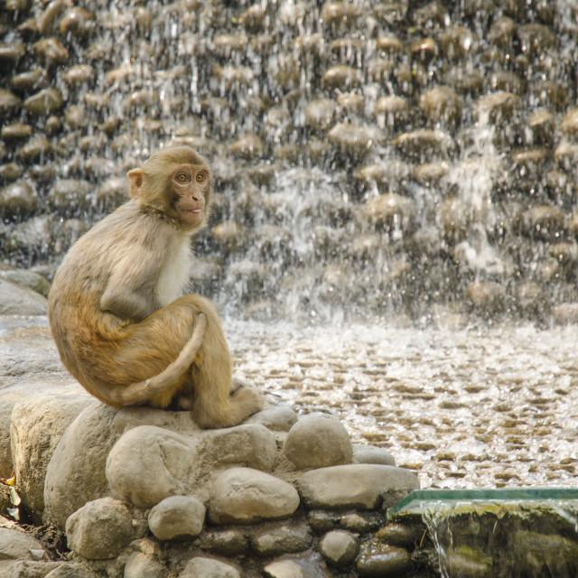 """Monkey at the Monkey Temple, Kathmandu"" stock image"