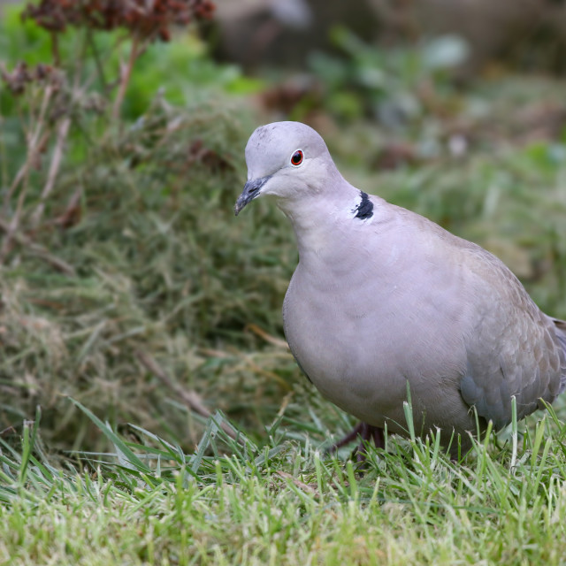 """Collared Dove"" stock image"