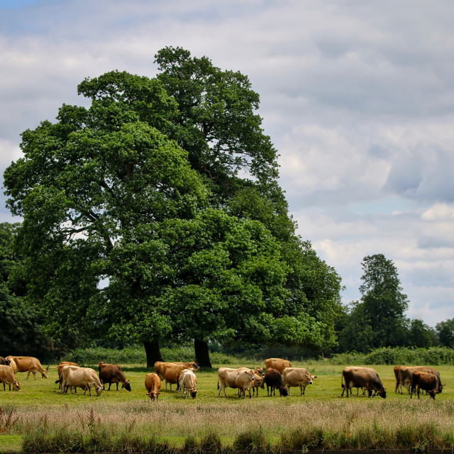 """""""Cattle in a meadow"""" stock image"""