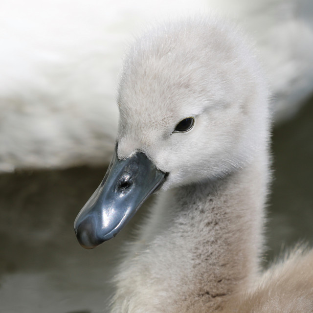 """""""Young Swan Cygnet"""" stock image"""
