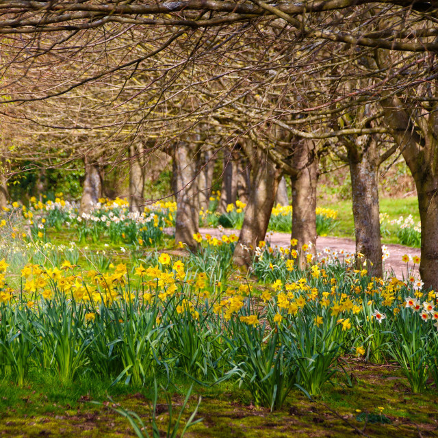"""""""Daffodils in a meadow"""" stock image"""