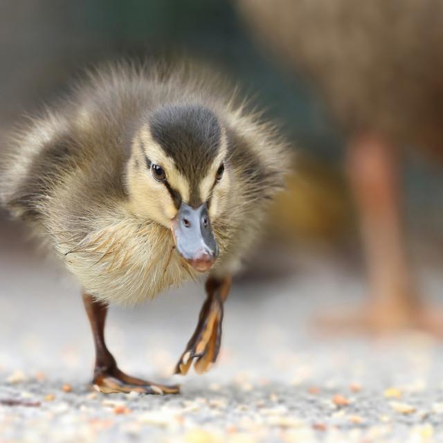 """Mallard Duck Chick"" stock image"