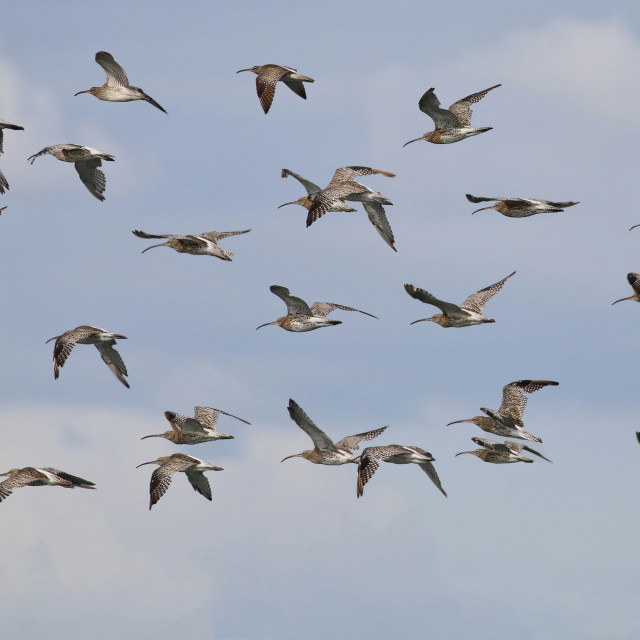 """""""Flock of Curlew"""" stock image"""