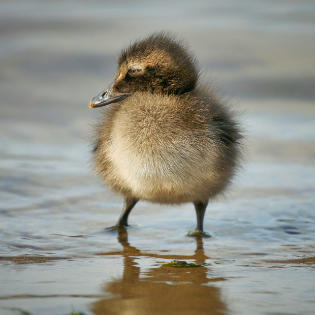 """Eider Duck Chick"" stock image"