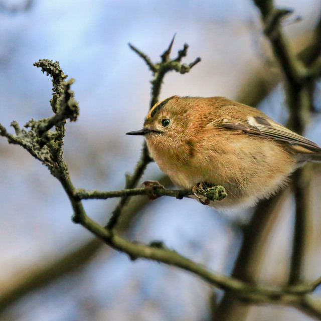 """""""Goldcrest in a tree"""" stock image"""