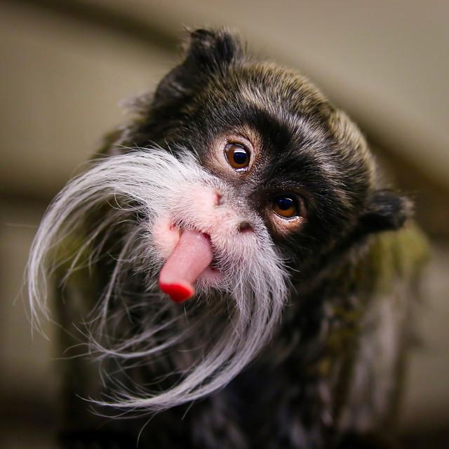 """Emperor Tamarin Monkey"" stock image"
