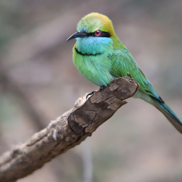 """""""Green Bee Eater"""" stock image"""